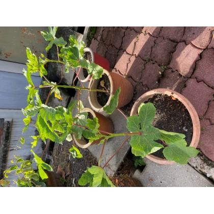 (15 seeds) Lady Finger/Okra/Kacang Bendi Seeds (Taiwan)